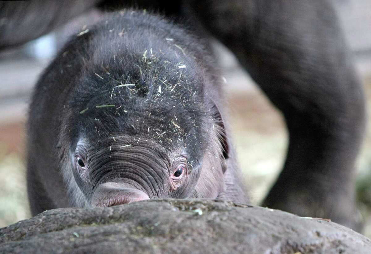 BERLIN, GERMANY - AUGUST 15: The baby Asian elephant Anchali pushes her trunk against a large rock in the elephant house next to her mother Pang Pha on August 15, 2012 in the Berlin Zoo in Berlin, Germany. Anchali was born on Sunday, August 12, just under one meter (3.28 feet) tall and weighing 160 kilograms (353 pounds) to Pang Pha and father Victor. Pang Pha was a gift to the Berlin Zoo in 1987 from the Thai government.
