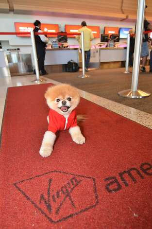 Boo is a star on the red carpet - in this case, one belonging to Virgin America, where he is the official pet liaison - as well as in his books. Photo: Virgin America