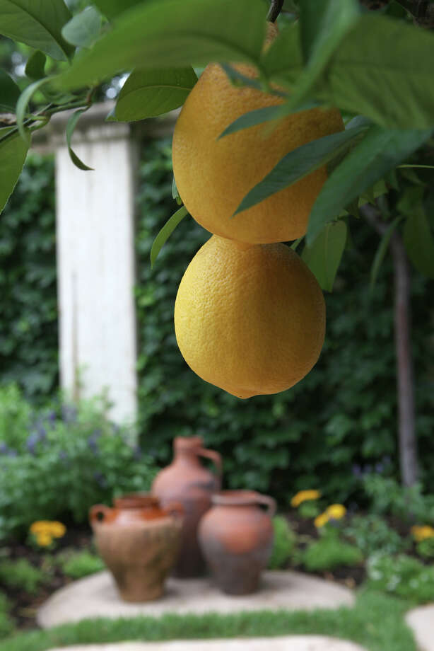 Meyer lemon Photo: Alan Warren / ©2011 Houston Chronicle