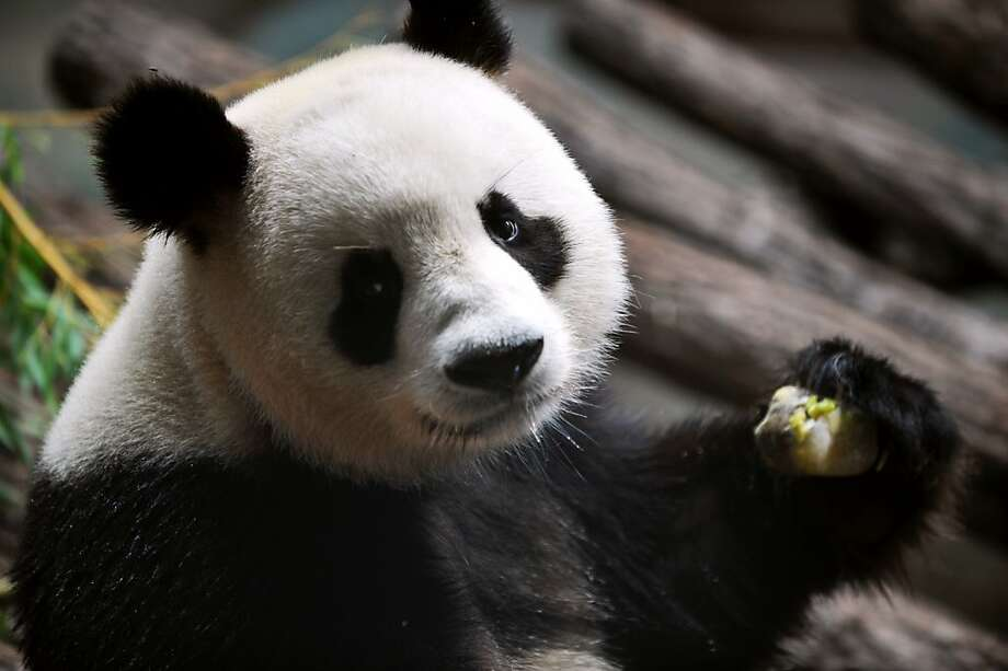 """Pablo Sandoval has the same problem:Yuan Zi, which means """"chubby,"""" is never going to slim down if they keep feeding him honey and apple ice cubes at the Beauval Zoo in Saint-Aignan, France. Photo: Alain Jocard, AFP/Getty Images"""