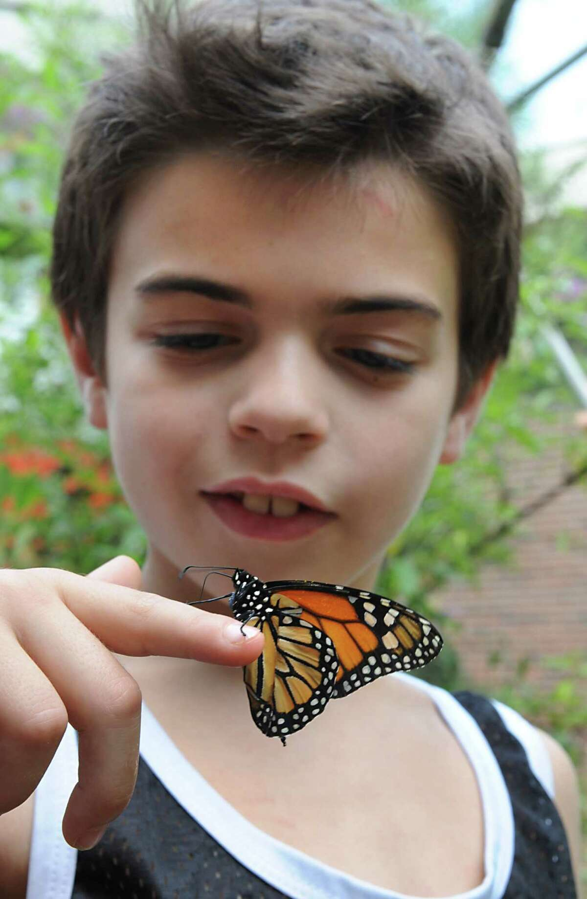 Josh Kaufman, 9, of Guilderland catches a butterfly before students at Farnsworth Middle School release a group of Monarch butterflies on Friday, Aug. 17, 2012 in Guilderland, N.Y. (Lori Van Buren / Times Union)