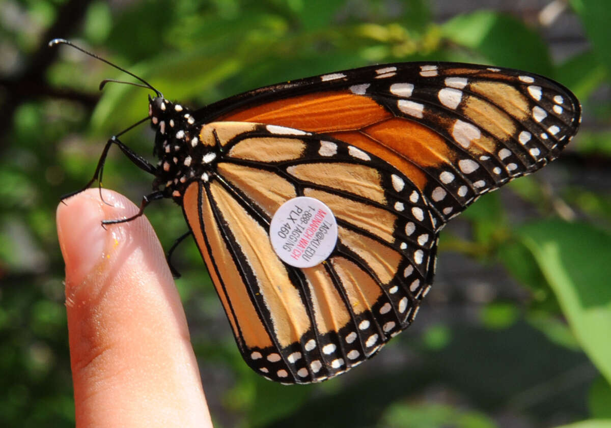 One of the Monarch butterflies that students at Farnsworth Middle School released on Friday, Aug. 17, 2012 in Guilderland, N.Y. (Lori Van Buren / Times Union)