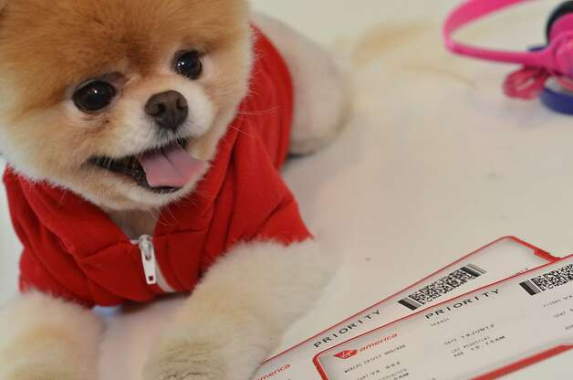 Boo the World's Cutest Dog is Virgin America's official pet liaison, promoting the airline's pet-friendly features and providing pet-friendly travel advice to two and four-legged fliers. Photo: Virgin America