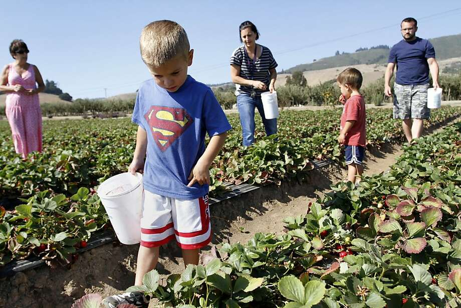 Tyler Thomas picks strawberries with his family at Gizdich Ranch in Watsonville. Photo: Sean Culligan, The Chronicle