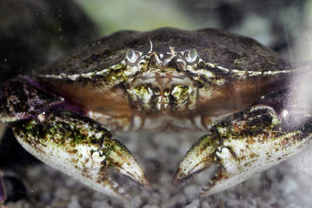 A rock crab sits in a salt water tank at the Seaside Center at Greenwich Point in this file photo. Public health officials announced that consumers should avoid rock crabs and shellfish caught locally in Half Moon Bay and Monterey Bay.