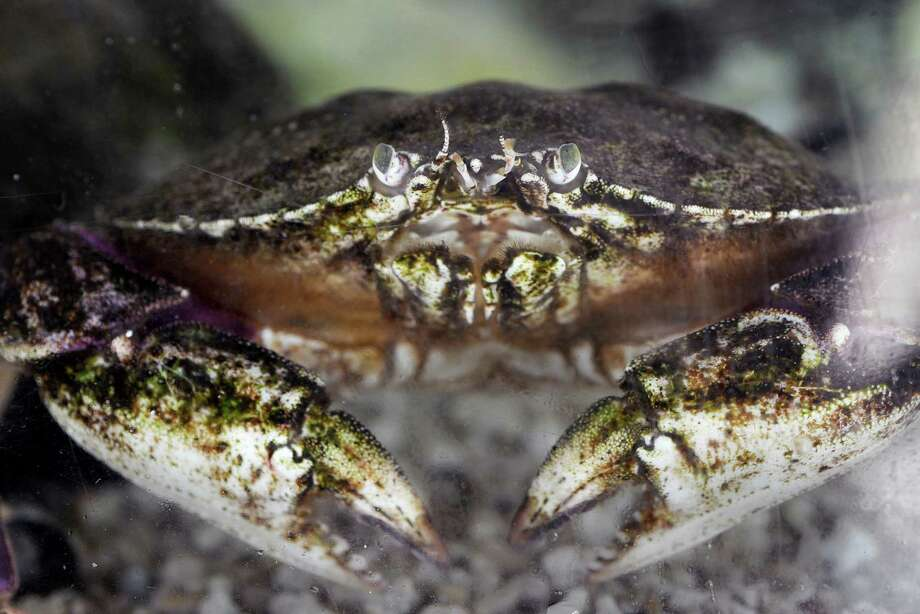 A rock crab sits in a salt water tank at the Seaside Center at Greenwich Point in this file photo.Public health officials announced that consumers should avoid rock crabs and shellfish caught locally in Half Moon Bay and Monterey Bay. Photo: Bob Luckey / Greenwich Time