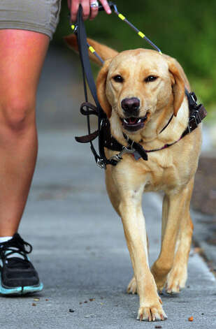 Alice the yellow lab takes a walk with her trainer Natalie Garza in Monte Vista Thursday August 16, 2012. Garza is with Guide Dogs of Texas, a non-profit organization that offers trained guide dogs to visually impaired Texans. Photo: John Davenport, San Antonio Express-News / John Davenport/©San Antonio Exp