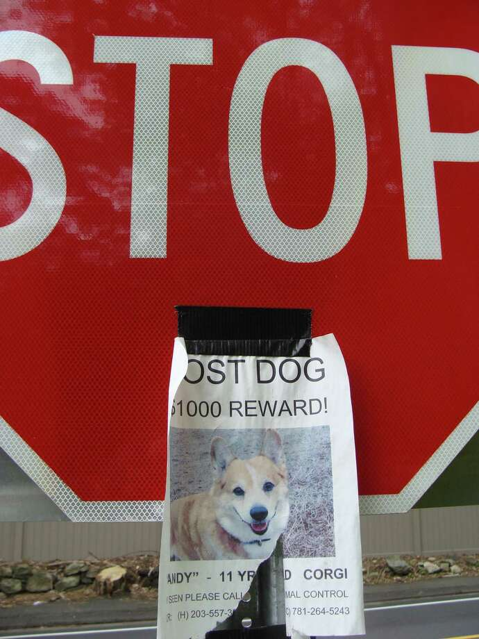 The owner of Andy, a Welsh Corgi that ran away in Westport on New Year's Eve, still holds out hope that posters like this one still posted around the region will help locate the missing dog. Photo: Meg Barone / Westport News freelance