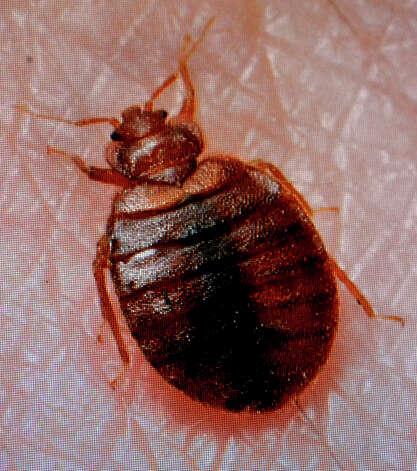 Bed Bug Look Alike 28 Images 4 Common Bugs Mistaken
