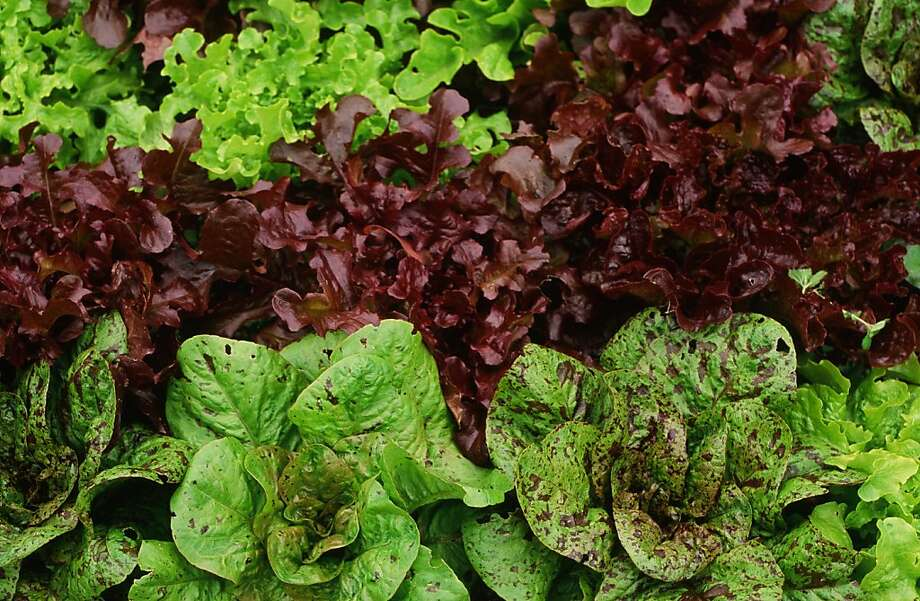 "Looseleaf and romaine lettuce varieties resist cold better than crispheads or butterheads. Look for ""cold resistant"" varieties. Photo: Pam Peirce"