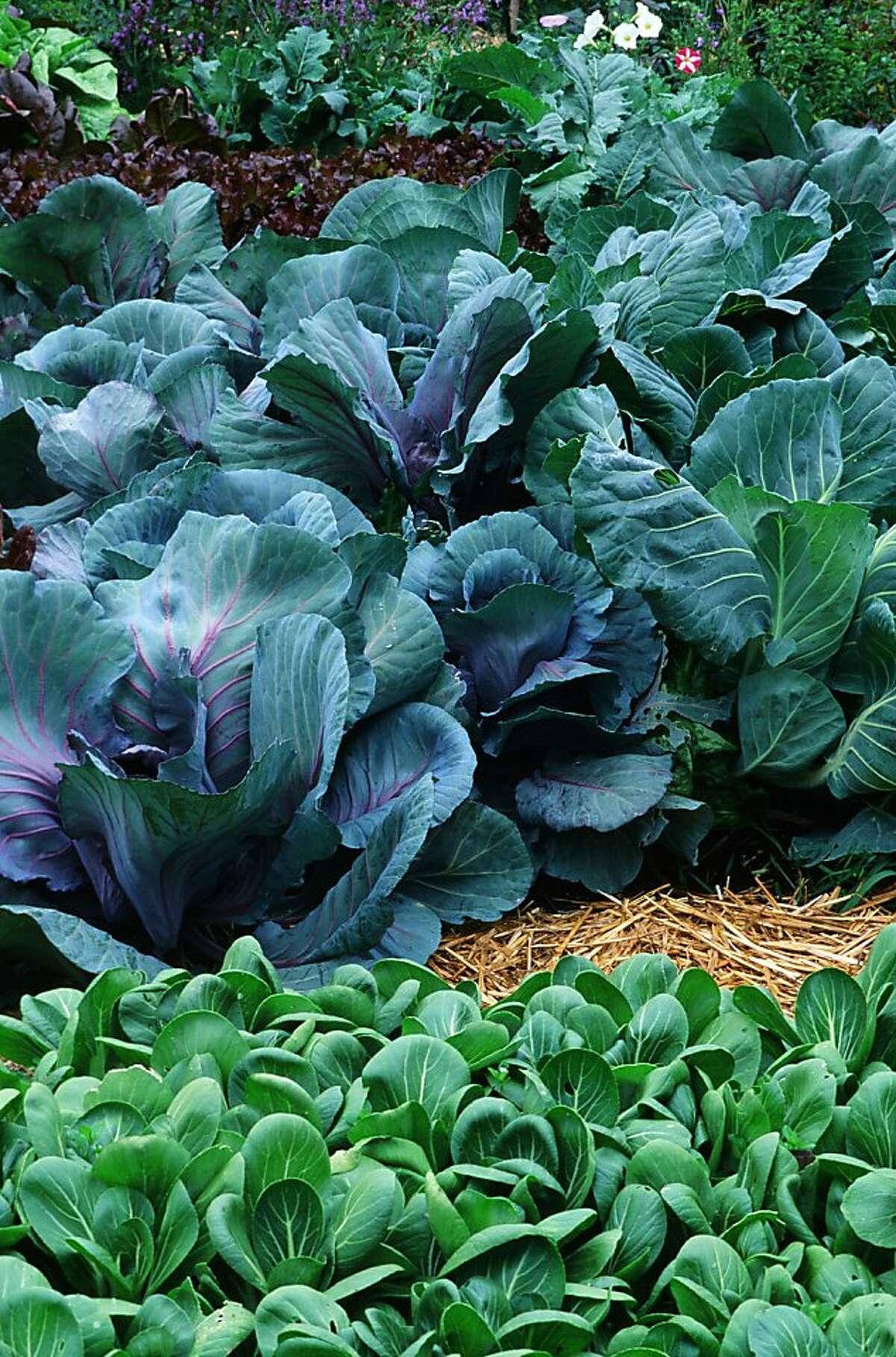 Purple cabbage and bok choy growing heartily into autumn in a San Francisco garden.