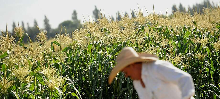 Worker Javier Alcantar tends to corn crops at the Monsanto Co. test field in Woodland, California, U.S., on Friday, Aug. 10, 2012. Monsanto Co., an American multinational agricultural biotechnology corporation, is the world's leading producer of the herbicide glyphosate and the largest producer of genetically engineered (GE) seed.  Photo: Noah Berger, Bloomberg