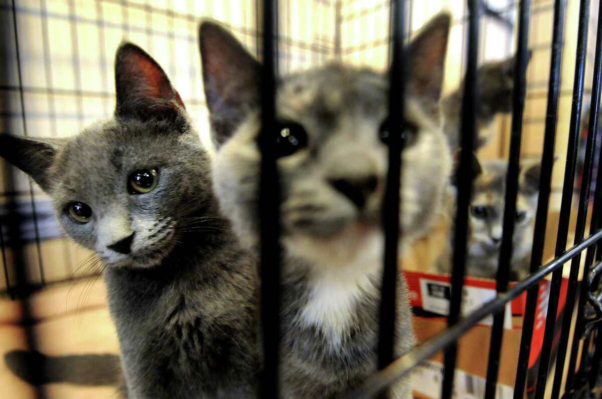 Kittens wait for their forever home during the fifth annual Feline Fest on Saturday, July 30, 2011, at Mohawk & Hudson River Humane Society in Menands, N.Y. (Cindy Schultz / Times Union archive)