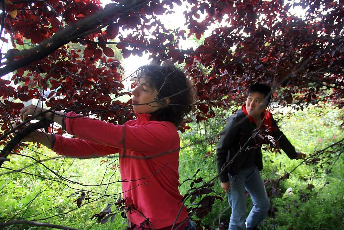 Guerrilla Grafters Miriam Goldberg, at left, and Tara Hui, examine ornamental plum trees in San Francisco to see if their 3-month-old grafts have taken.