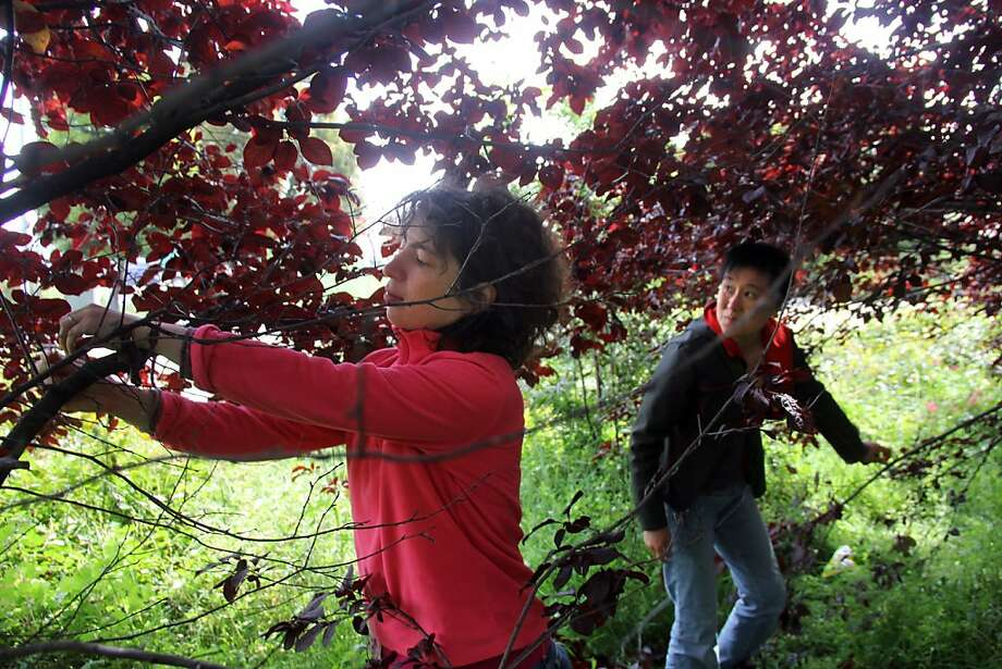 Guerrilla Grafters Miriam Goldberg (left) and Tara Hui examine ornamental plum trees in S.F. to see whether the grafts they've illegally made have taken. Photo: Tom Levy, Tom@tomlevy.net, Special To The Chronicle