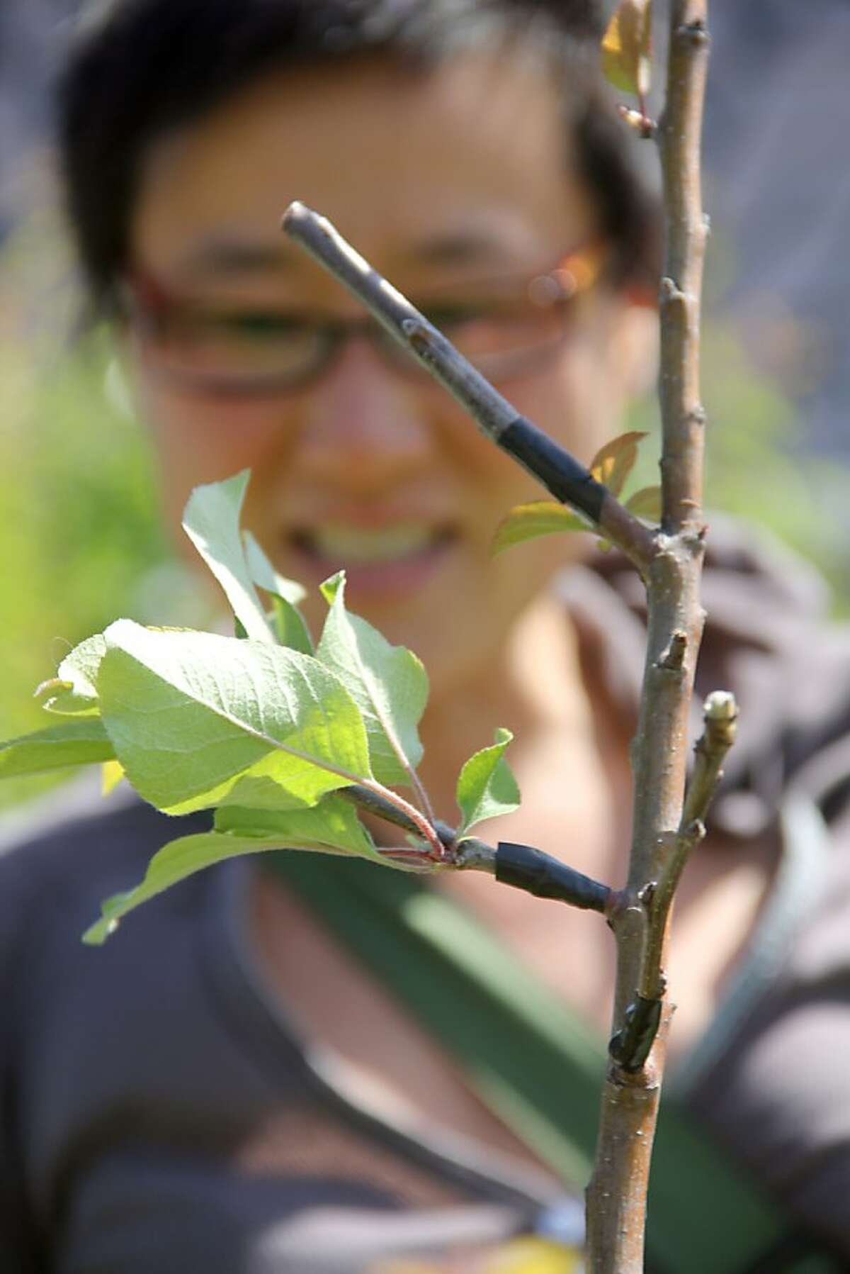 Tara Hui, of the Guerrilla Grafters, examines an ornamental apple tree in Oakland which has two grafts, one successful (the lower graft with the green leaves) and one unsuccessful (the upper, without leaves). These scions are apple from fruit-bearing trees.