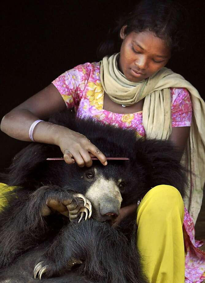 Juli Kisan combs the hair of Buddu, a one and a half-year-old sloth bear at the family's home in Lakhapada, 350 kikometers (220 miles) from Bhubaneswar, India. The wild bear, which was rescued from the family by wildlife officials Friday,Aug. 17, 2012, wandered into the village while following a herd of goats and had lived with the family ever since.  Photo: Biswaranjan Rout, Associated Press