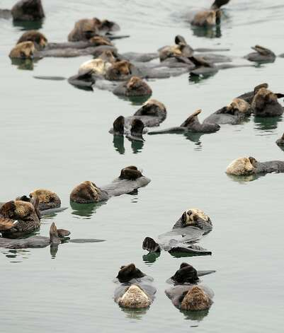 Sea otters gather in a yacht harbor in Moss Landing. Scientists were pleased to see the population increase after a decrease was observed from 2009 to 2010. Photo: Noah Berger, Special To The Chronicle