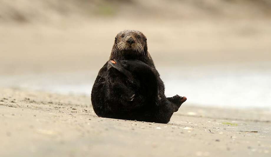 Showing a monitoring tag, a sea otter relaxes on a beach in Moss Landing, Calif., on Tuesday, Aug. 21, 2012. Photo: Noah Berger, Special To The Chronicle