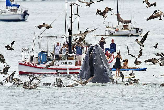 A humpback whales lunges out of the water to feed near a gathering of spectators just off a beach at San Luis Obispo, Calif., Saturday, Aug. 18, 2012.  The whale fed on a school of bait fish for more than an hour, often breaching close to nearby boats, kayakers and stand up paddle boarders.  Photo: Bill Bouton, Associated Press