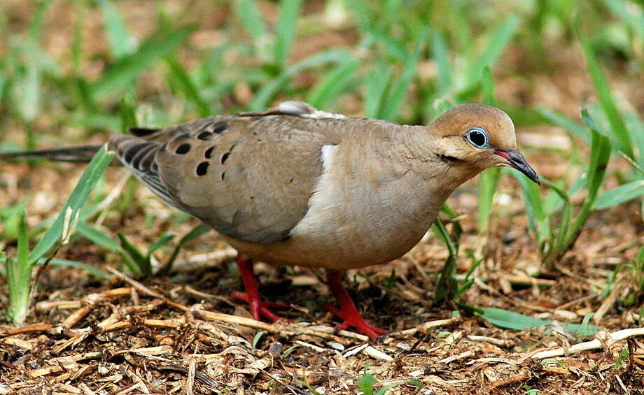 mourning dove Photo: Picasa