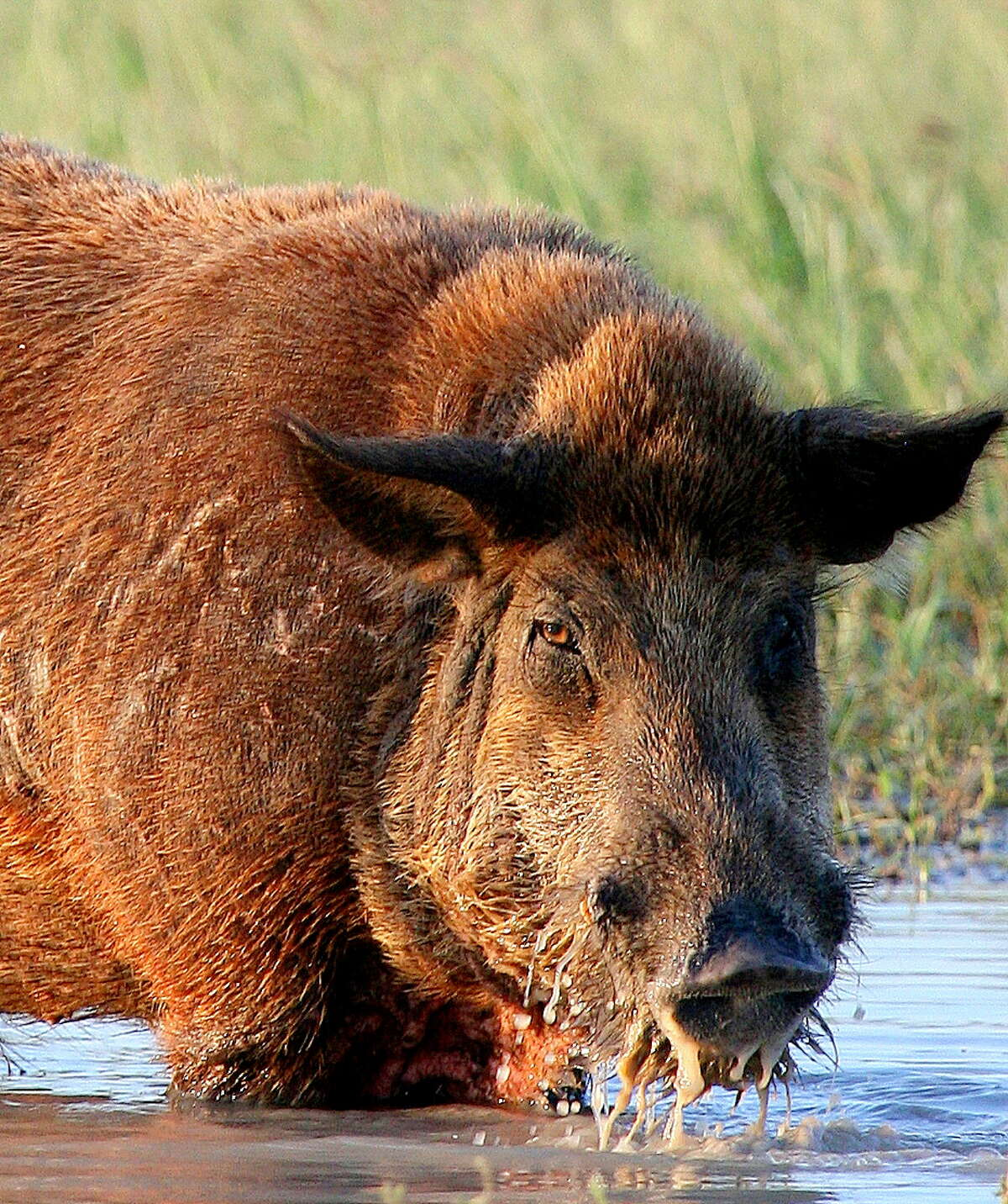 Feral hogs cause as much as $400 million in damage to private property in Texas each year.