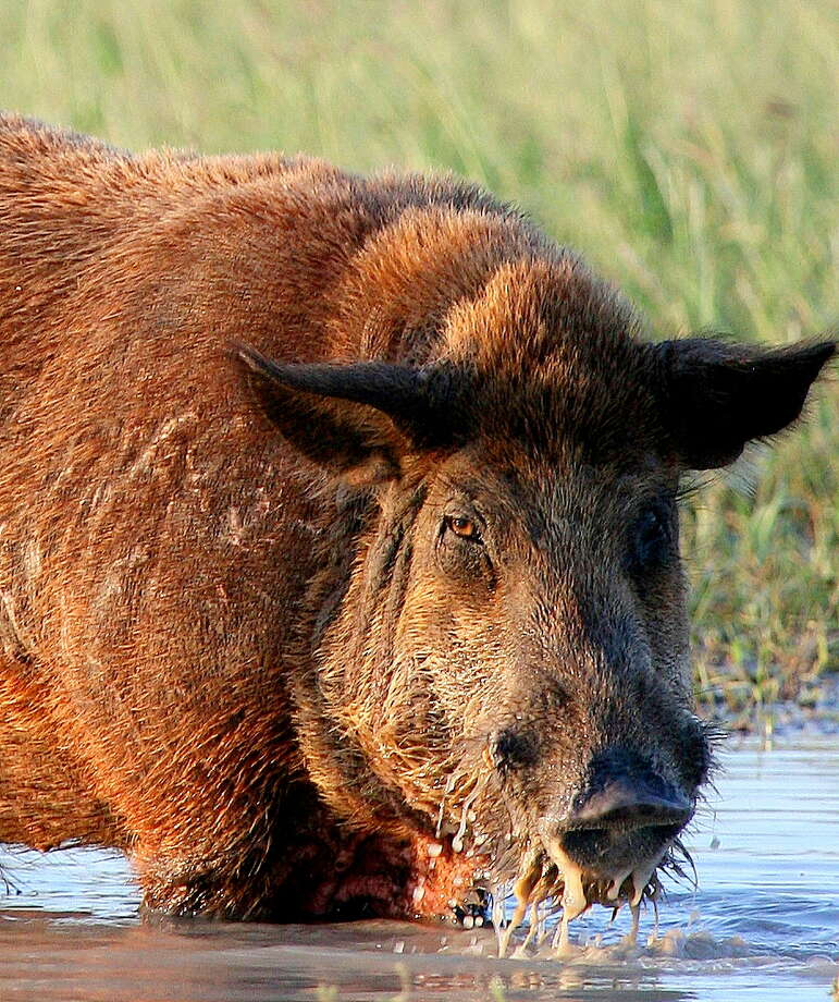 Feral hogs cause as much as $400 million in damage to private property in Texas each year. Photo: Picasa