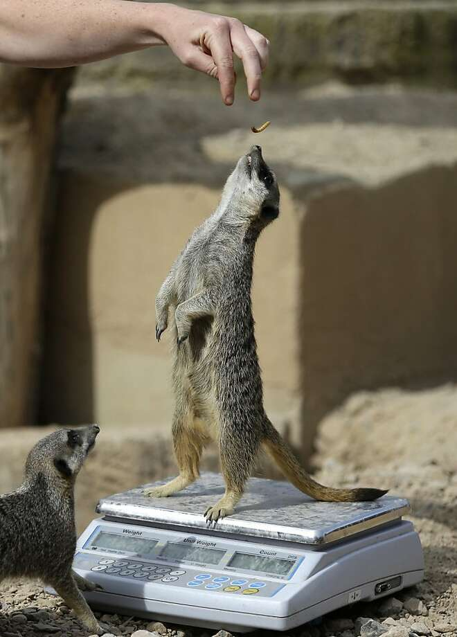 A meerkat stands up on a weighing machine at London Zoo during the annual weighing and measuring of the animals at the zoo, Wednesday, Aug.  22, 2012.  Photo: Alastair Grant, Associated Press