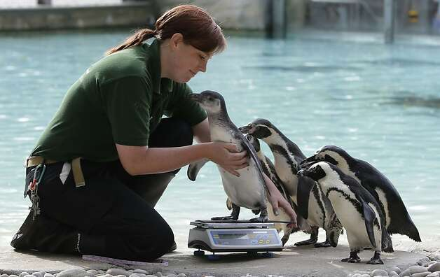 Vicki Fyson a trainee keeper at London Zoo attempts to weigh a Humboldt penguin, in London, Wednesday, Aug.  22, 2012. Zookeepers are grabbing their scales and reaching for the tape measures, as they prepare to monitor every animal at ZSL London Zoo's annual weigh-in.  Photo: Alastair Grant, Associated Press / SF