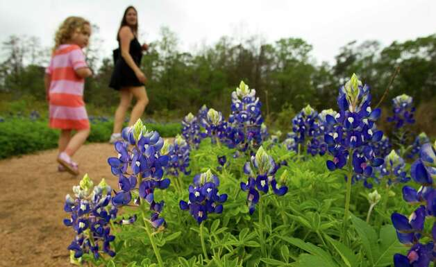 A small bloom of bluebonnets are seen along the south meadow trail at the Houston Arboretum and Nature Center Tuesday, March 13, 2012, in Houston. ( Brett Coomer / Houston Chronicle ) Photo: Brett Coomer / © 2012 Houston Chronicle