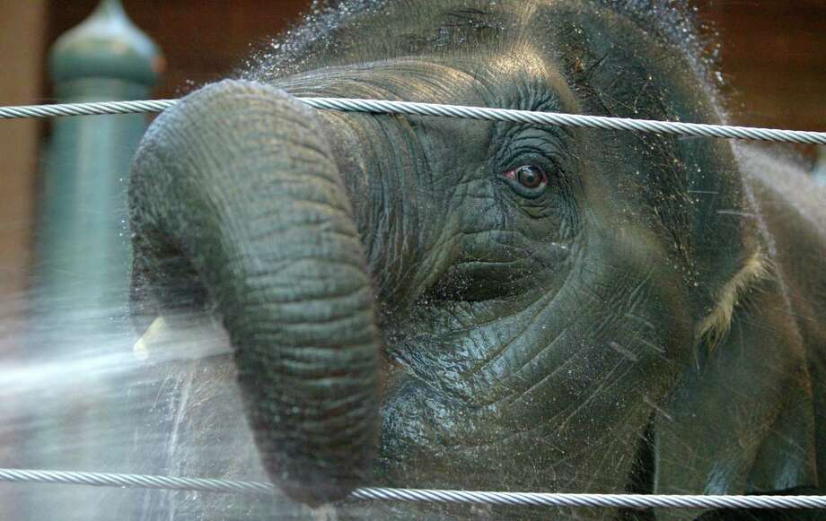Hansa: The first elephant born in Washington state, Hansa died of herpes in 2007 at Woodland Park Zoo. (Photo by Gilbert W. Arias/Seattle Post-Intelligencer) Photo: GILBERT W. ARIAS, As Credited / Seattle P-I