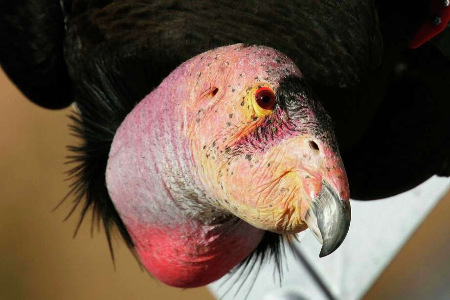 California condor: The Oregon Zoo in Portland was one of three organizations that assisted in the effort to breed California condors. (Photo by David McNew/Getty Images) Photo: David McNew, As Credited / 2007 Getty Images