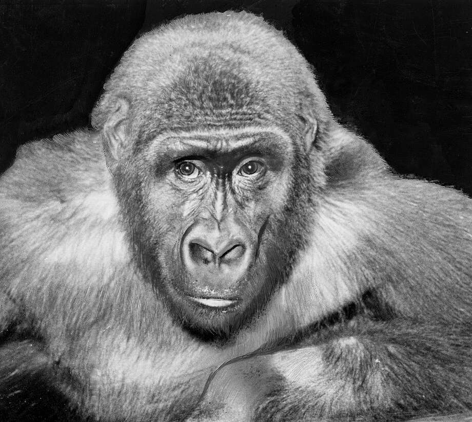 Bobo the Gorilla: Captured in Africa, Bobo was a major attraction at the Woodland Park Zoo in the 1950s and 1960s. He was stuffed following his death, and is on display at the Washington Museum of History and Industry. (P-I archive photo) Photo: P_I FILES CIRCA 1958, As Credited