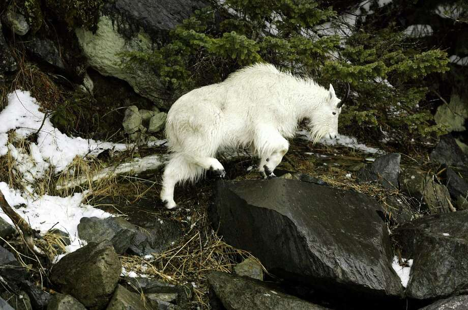 An ill tempered mountain goat at Olympic National Park gored a man in 2010, and was later killed by park officials. The Olympic Peninsula is laying out a welcome map this summer -- get it at www.wildolympics.org -- but the park warns high country visitors:  Stay at least 50 yards away from the goats. visitors(Photo by David McNew/Getty Images) Photo: David McNew, As Credited / 2004 Getty Images