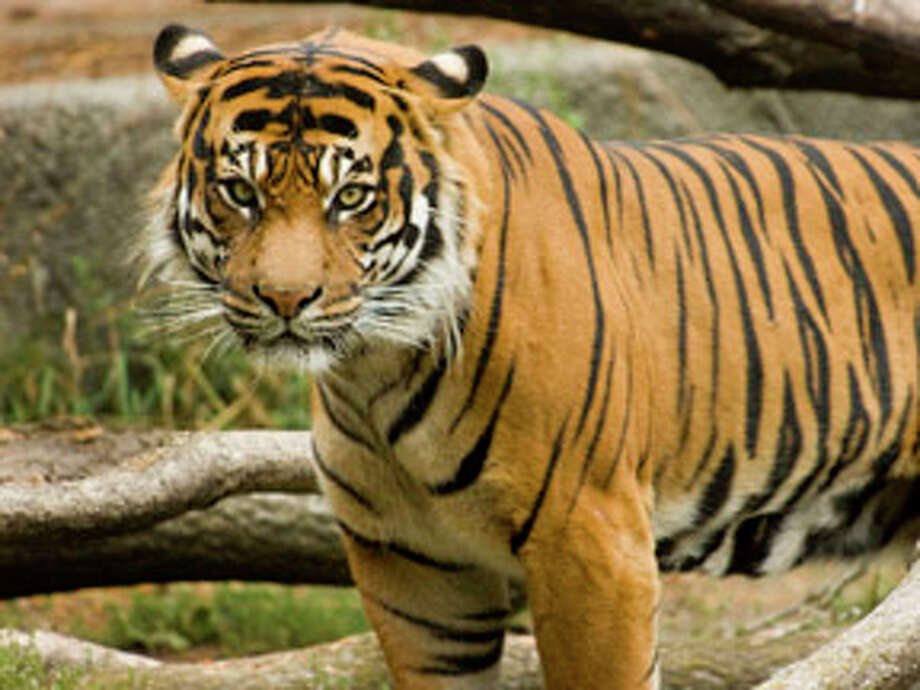 Rahkahtah: Woodland Park Zoo's sole male tiger met his end  earlier this year. His lady tigers are waiting to move into a new exhibit that should outshine Rahkahtah's digs, which were more mid-century modern. He is pictured above in happier times. Photo: Ryan Hawk, Woodland Park Zoo / ©Ryan Hawk / WPZ