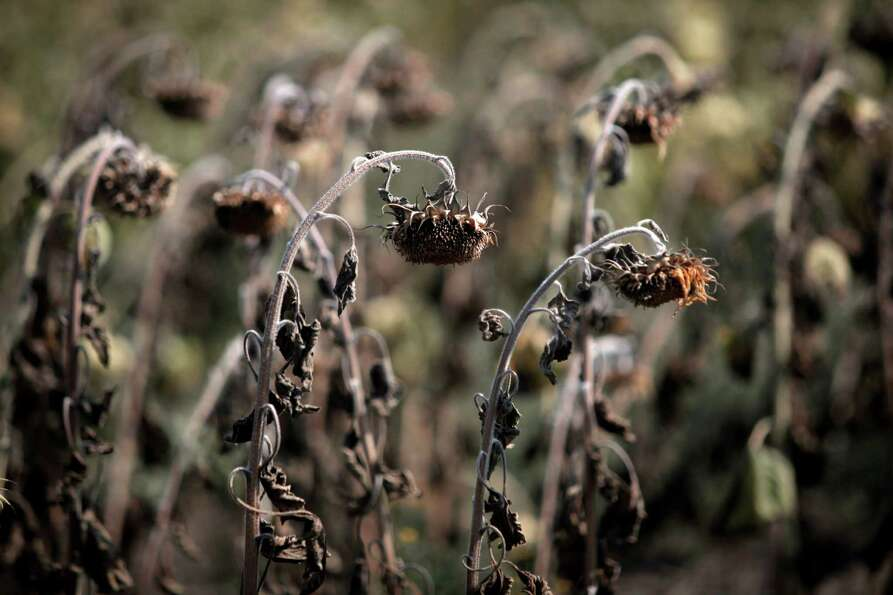 Dried sunflowers are seen in a field near the Bulgarian capital Sofia, Thursday, Aug 23, 2012  After