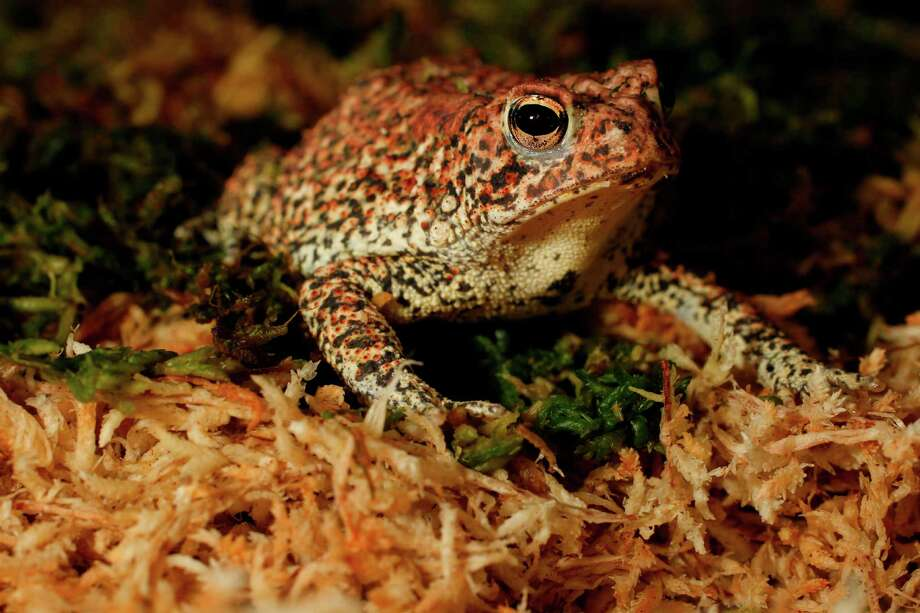 The Houston toad Photo: Mayra Beltran / © 2012 Houston Chronicle