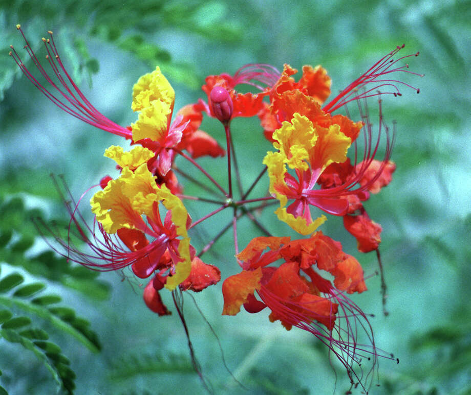 A Pride of Barbados blooms at the Cool Crest Miniature Golf Course. Photo: Kevin Geil, EXPRESS-NEWS FILE PHOTO / SAN ANTONIO EXPRESS-NEWS