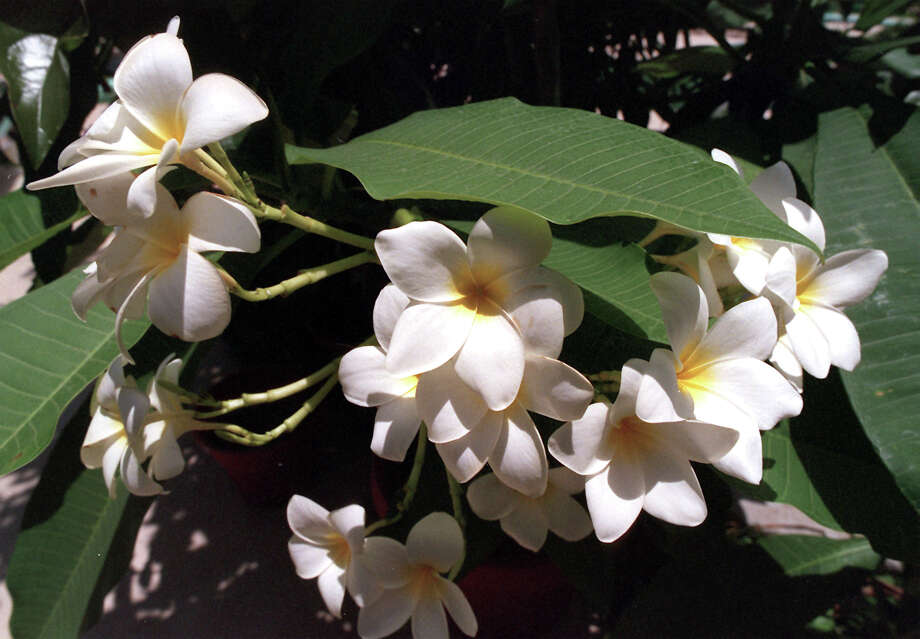 A Plumeria blooms at the Cool Crest Miniature Golf Course. Photo: Express-News File Photo, SAN ANTONIO EXPRESS-NEWS / SAN ANTONIO EXPRESS-NEWS