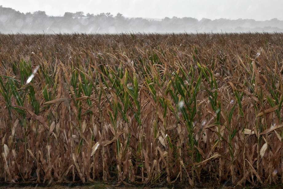 Rain falls earlier this month on a dry cornfield near Blair, Neb. The threat of higher food and fuel prices is drawing attention to the federal ethanol mandate. Photo: Nati Harnik / AP