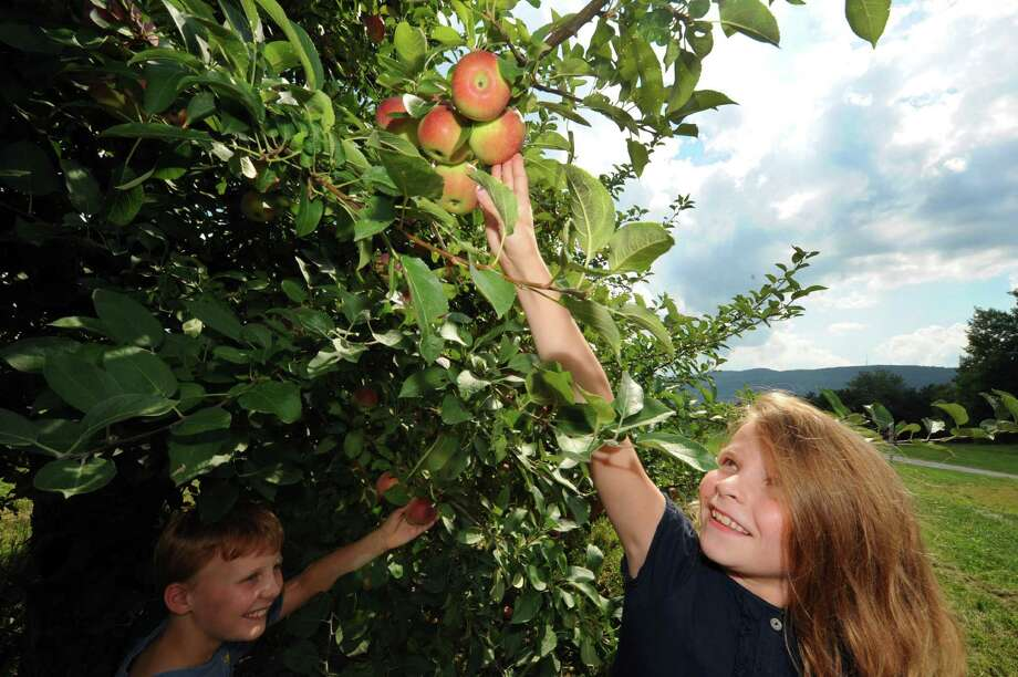 Twin ten-year-old brother and sister Tim and Sydney Fredericks pick apples at Indian Ladder Farms in Altamont, NY Thursday Aug. 23, 2012. (Michael P. Farrell/Times Union) Photo: Michael P. Farrell
