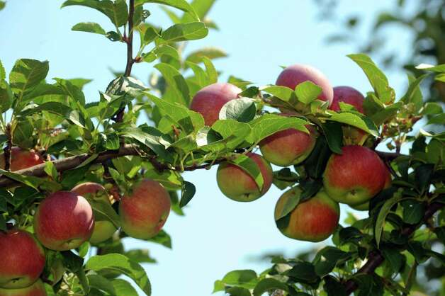 Apples on the trees at Indian Ladder Farms in Altamont, NY Thursday Aug. 23, 2012. (Michael P. Farrell/Times Union) Photo: Michael P. Farrell