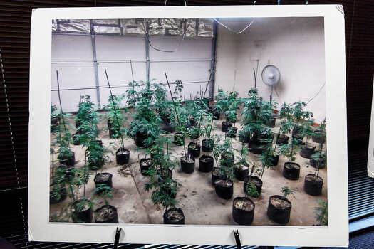 Aug. 23, 2012: A photo of seized live marijuana plants on display during a news conference at DEA headquarters talking about a recent case involving a hydroponic marijuna smuggling ring from San Antonio.  Two tons of marijuana plants and crops were seized along with $1.5 million and jewelry and guns.  Ten out of twelve suspects have been charged with intent to distribute high grade marijuana in the case.  The ring, with leadership in San Antonio, was bringing in marijuana from California and distributing it to Florida, Louisiana, North Carolina, Georgia, Tennessee and Michigan.  The DEA has been working on the case for one-and-a-half years. Photo: Marvin Pfeiffer, San Antonio Express-News / Express-News 2012