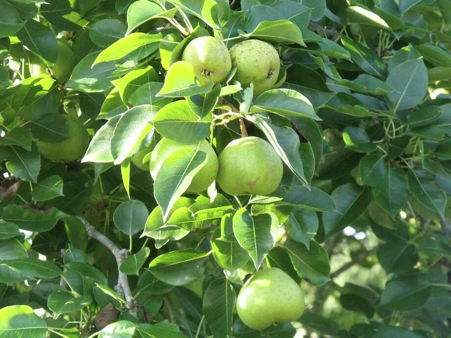 Learn how to grow pears in the home garden at the Gulf Coast Fruit Study Group program to 6:30 p.m. Thursday. / DirectToArchive
