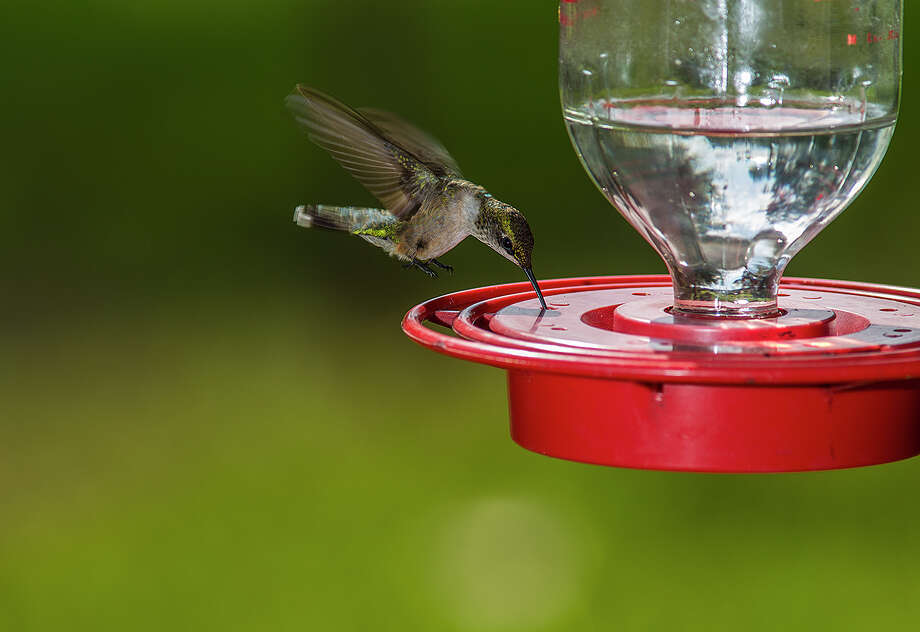 Ruby-throated hummingbirds will be showing up at backyard feeders and in gardens from now until November as they move through Texas on their annual fall migration. Photo: Kathy Adams Clark / Kathy Adams Clark/KAC Productions
