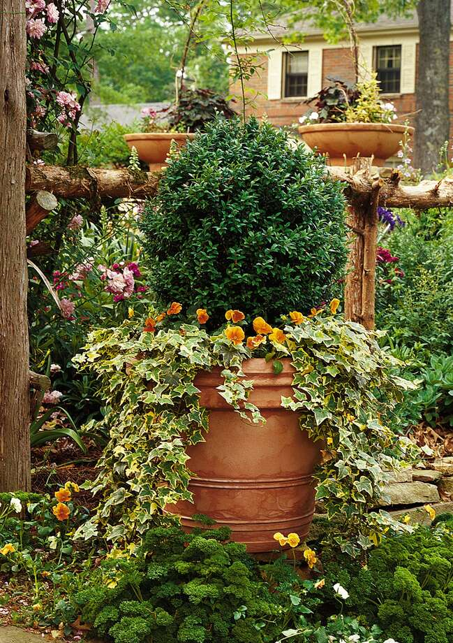 Boxwood are best in a well-draining soil. Photo: VAN CHAPLIN / SOUTHERN LIVING
