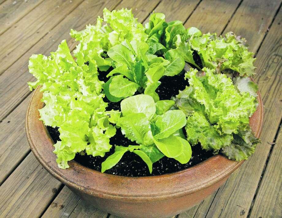 Leaf lettuces Photo: John Everett / Freelance