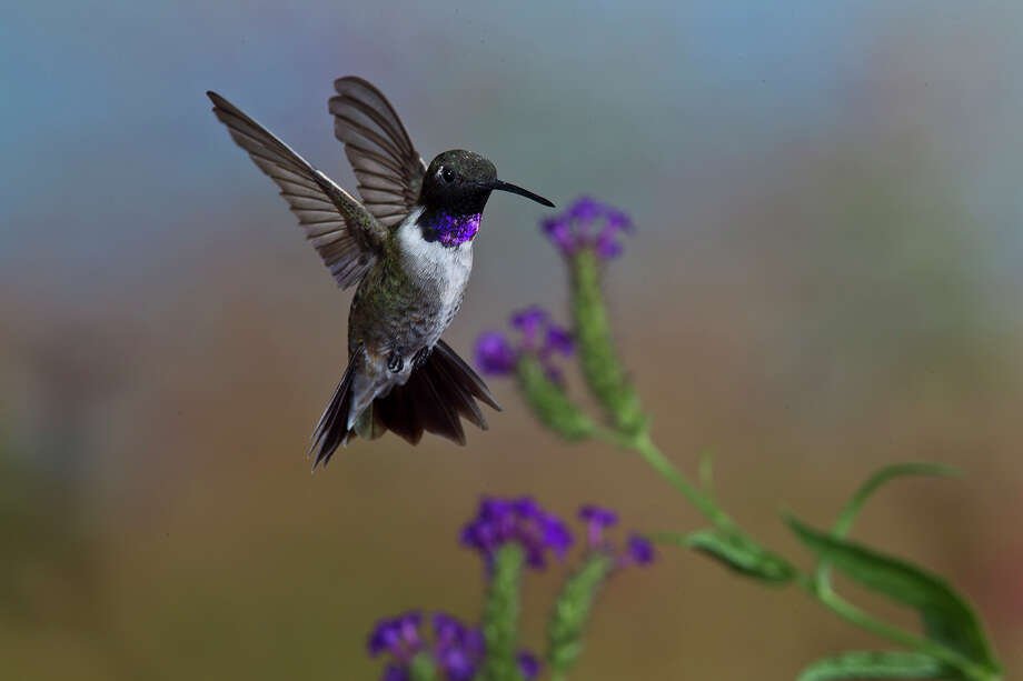 Black-chinned hummingbirds are fattening up before heading to their wintering grounds in Mexico in November.  Some will winter on the Texas coast. Photo: Kathy Adams Clark Photo / Kathy Adams Clark/KAC Productions