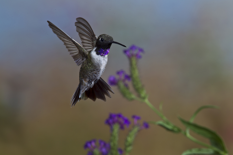 hummingbirds make texas their haunt san antonio express news