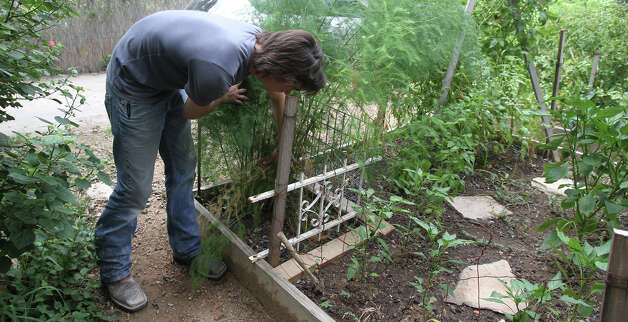 Growing perennial vegetables such as asparagus in the home garden can be cost effective. Photo: John Davenport, San Antonio Express-News / John Davenport/San Antonio Expre